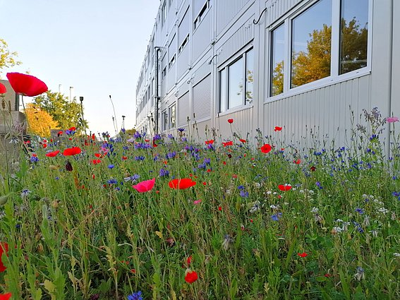 Blumenwiese rund um die Containerbüros am Innovation Campus der TH OWL in Lemgo